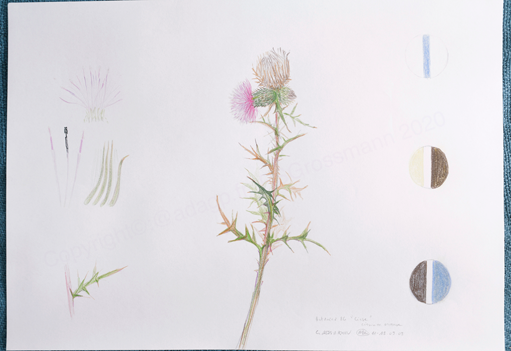 Botanica 26 Cirse